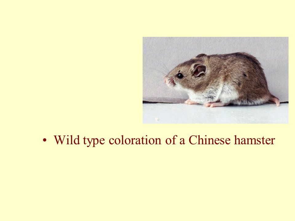 Wild type coloration of a Chinese hamster