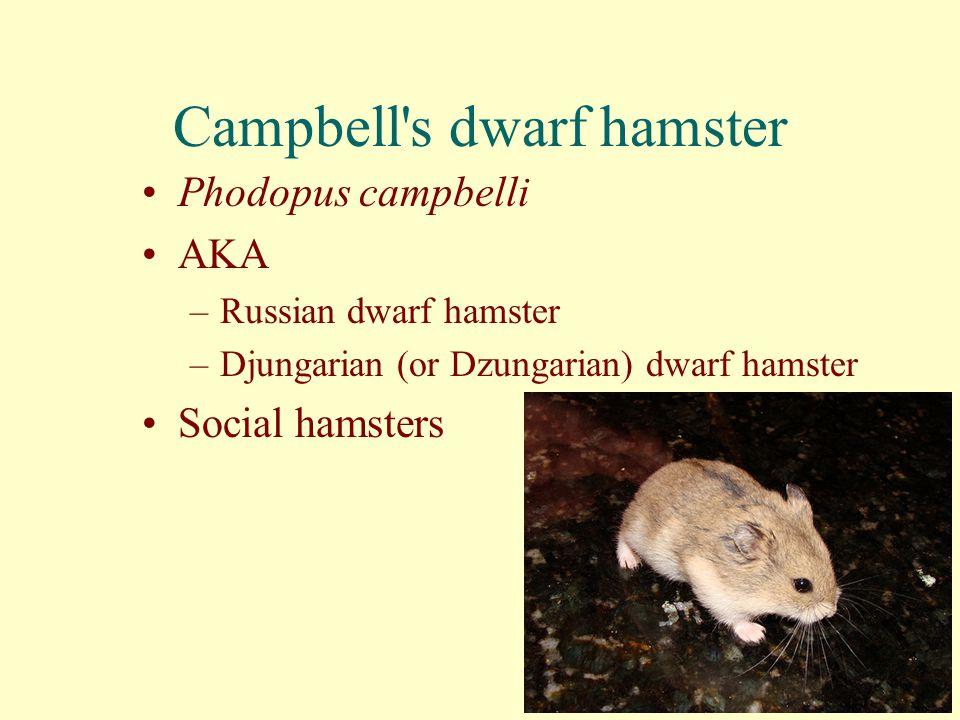Campbell's dwarf hamster Phodopus campbelli AKA –Russian dwarf hamster –Djungarian (or Dzungarian) dwarf hamster Social hamsters