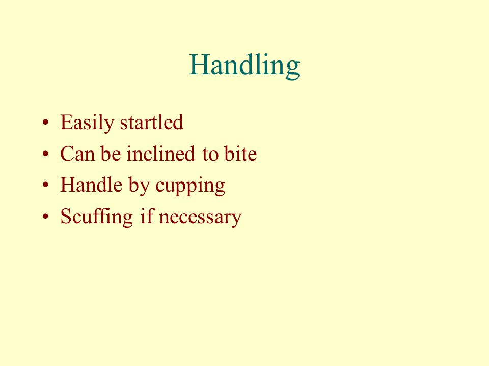 Handling Easily startled Can be inclined to bite Handle by cupping Scuffing if necessary