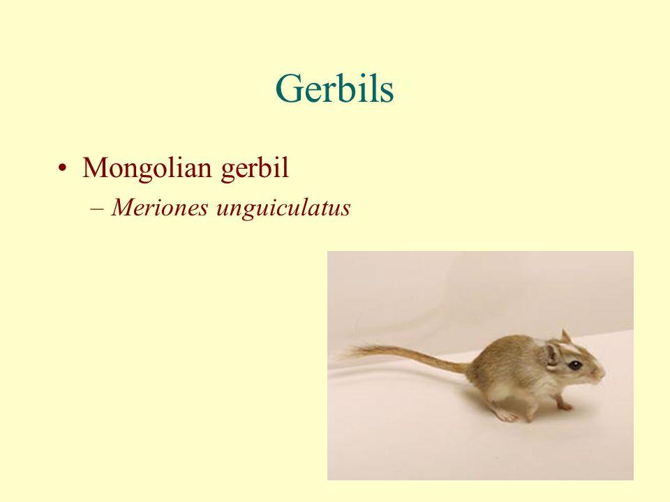 Gerbils Mongolian gerbil –Meriones unguiculatus