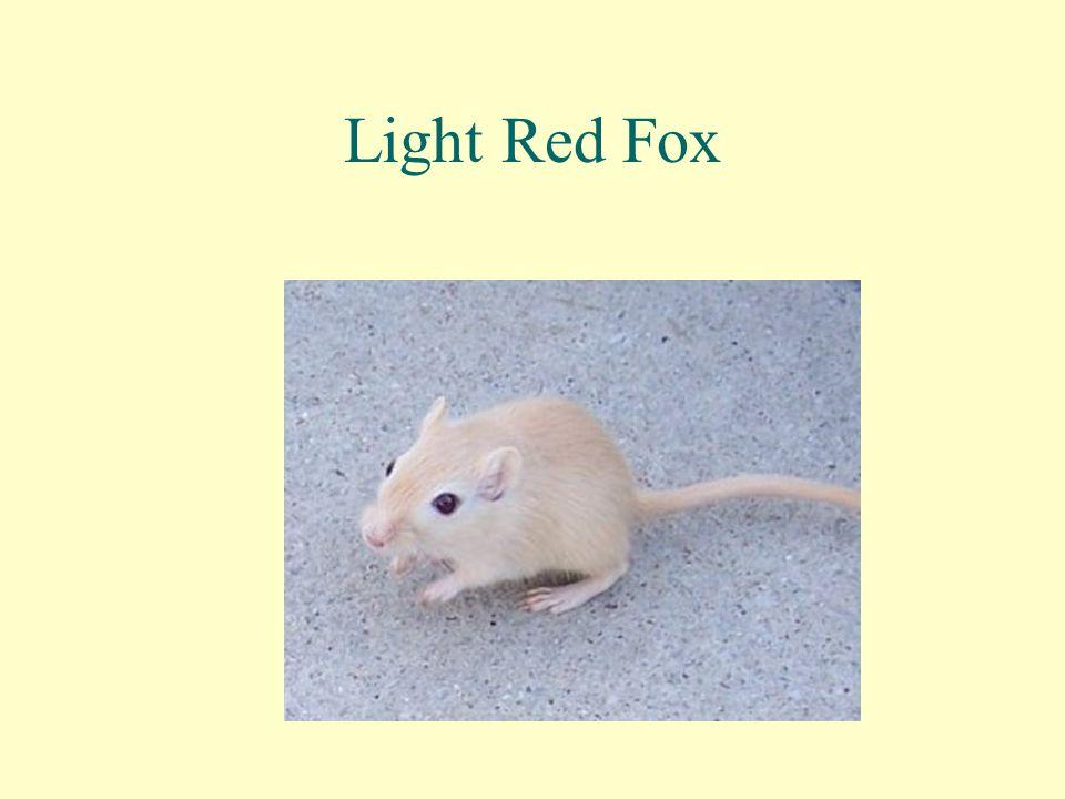Light Red Fox