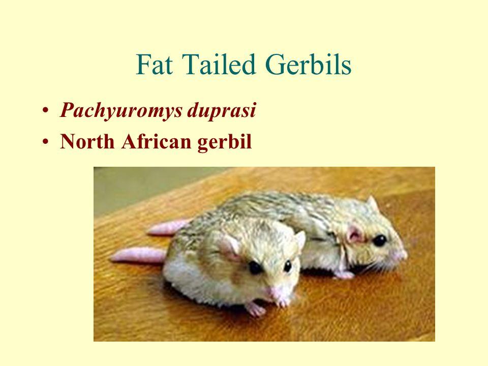 Fat Tailed Gerbils Pachyuromys duprasi North African gerbil