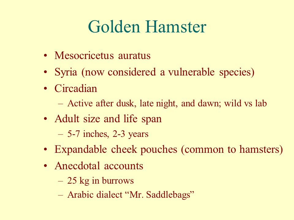 Golden Hamster Mesocricetus auratus Syria (now considered a vulnerable species) Circadian –Active after dusk, late night, and dawn; wild vs lab Adult