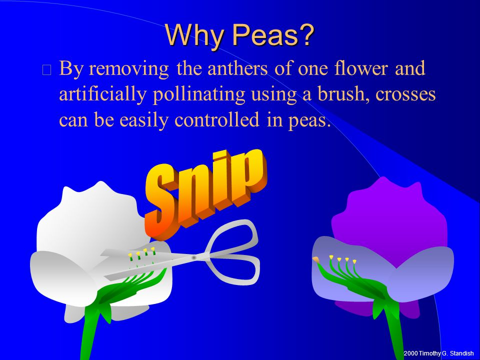 ©2000 Timothy G.Standish Why Peas.