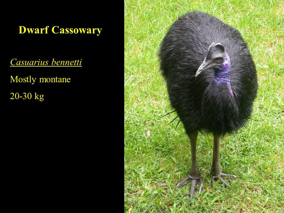 Dwarf Cassowary Casuarius bennetti Mostly montane 20-30 kg