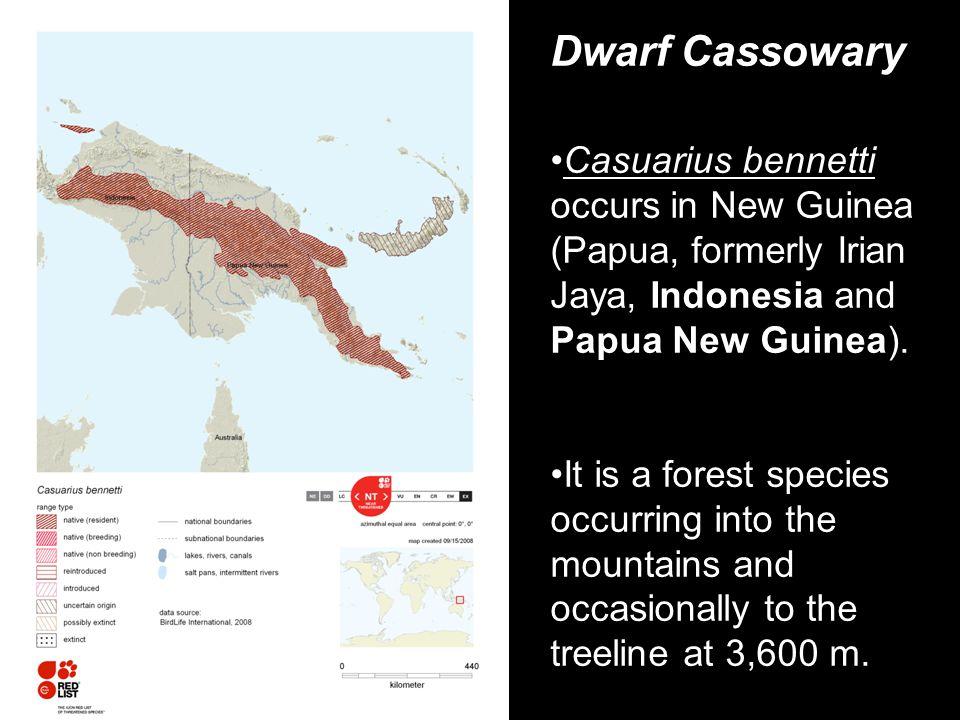Dwarf Cassowary Casuarius bennetti occurs in New Guinea (Papua, formerly Irian Jaya, Indonesia and Papua New Guinea).