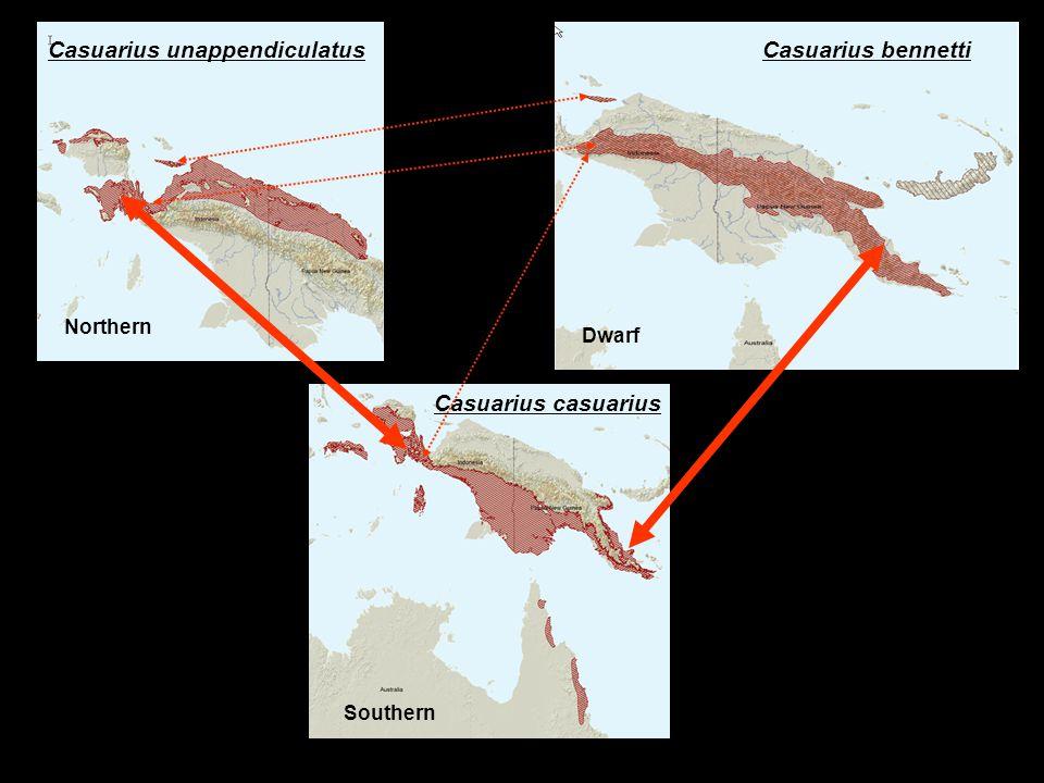 Casuarius bennettiCasuarius unappendiculatus Casuarius casuarius Northern Dwarf Southern
