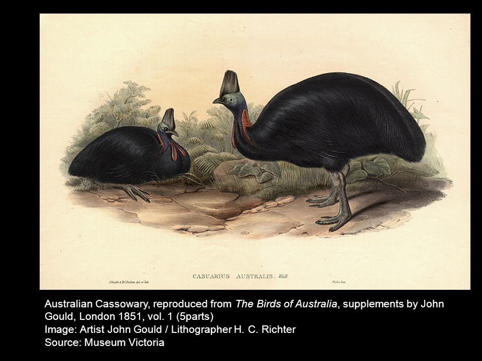 John Gould Southern Cassowary (Casuarius casuarius), watercolour (c.1850) Australian Cassowary, reproduced from The Birds of Australia, supplements by John Gould, London 1851, vol.
