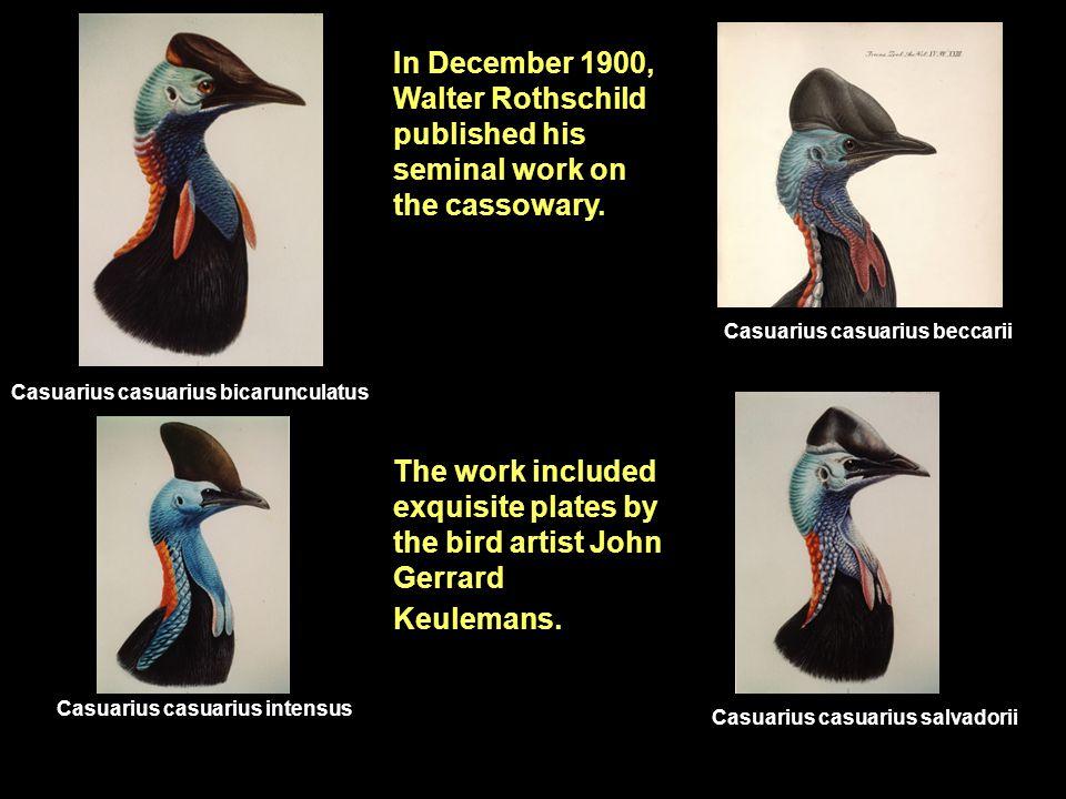 Casuarius casuarius bicarunculatus Casuarius casuarius beccarii Casuarius casuarius salvadorii Casuarius casuarius intensus In December 1900, Walter Rothschild published his seminal work on the cassowary.