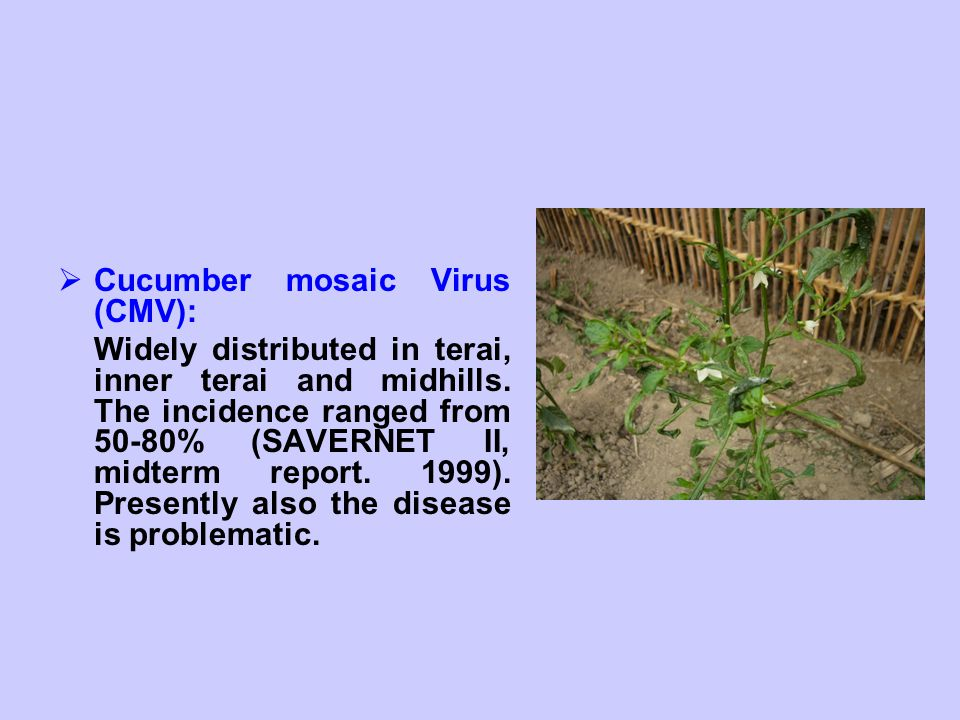  Cucumber mosaic Virus (CMV): Widely distributed in terai, inner terai and midhills. The incidence ranged from 50-80% (SAVERNET II, midterm report. 1