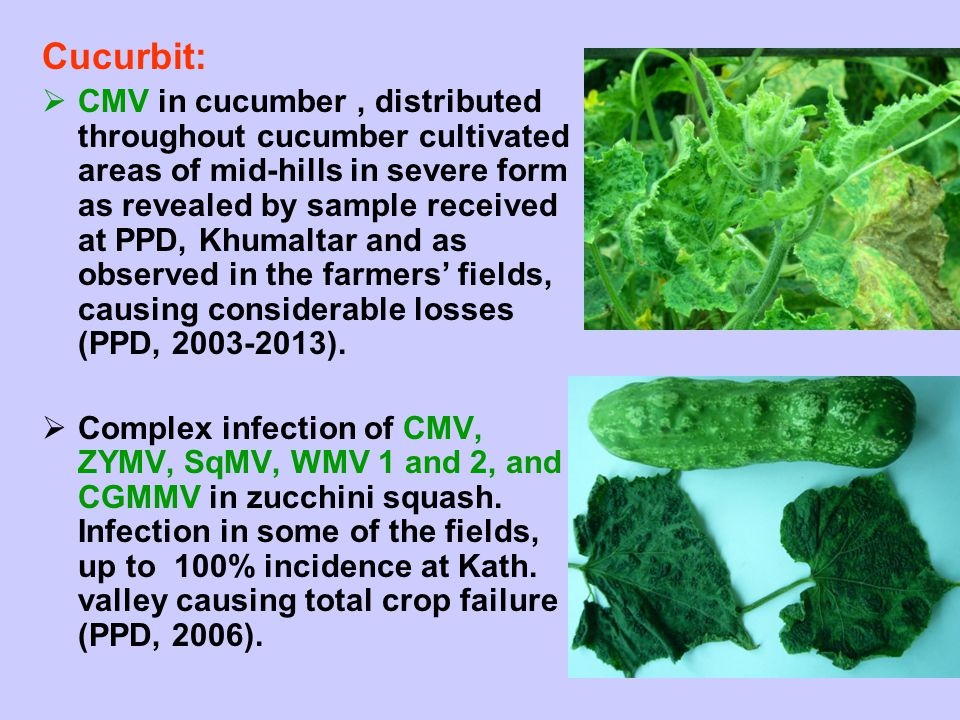 Cucurbit:  CMV in cucumber, distributed throughout cucumber cultivated areas of mid-hills in severe form as revealed by sample received at PPD, Khuma