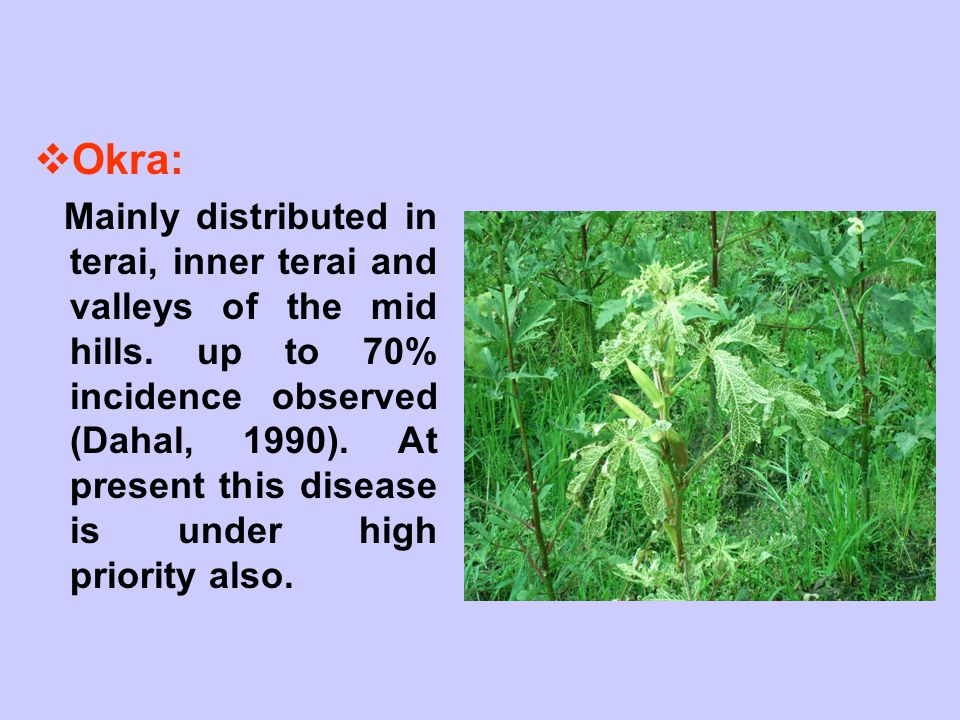  Okra: Mainly distributed in terai, inner terai and valleys of the mid hills. up to 70% incidence observed (Dahal, 1990). At present this disease is