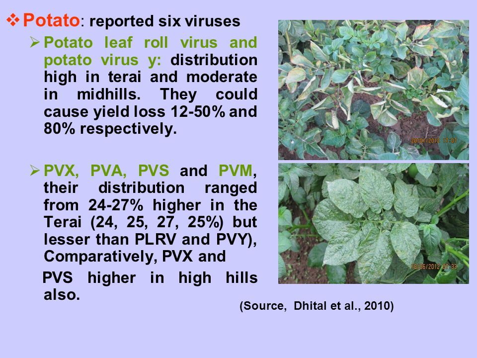  Potato : reported six viruses  Potato leaf roll virus and potato virus y: distribution high in terai and moderate in midhills. They could cause yie
