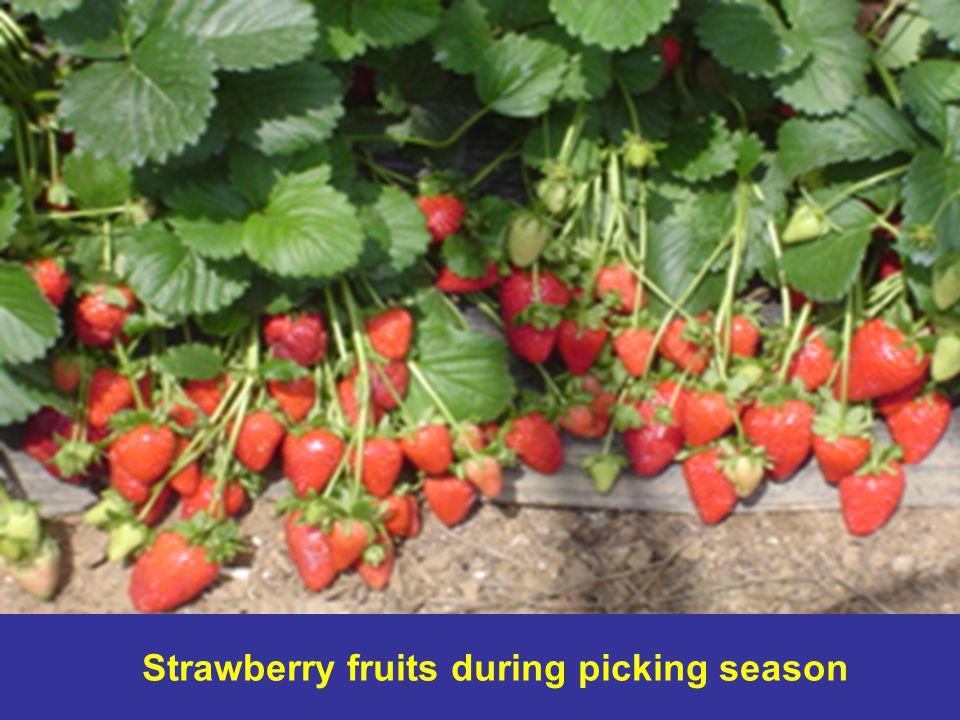 Strawberry fruits during picking season