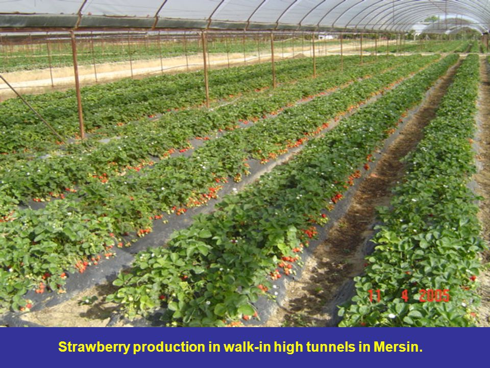 Strawberry production in walk-in high tunnels in Mersin.