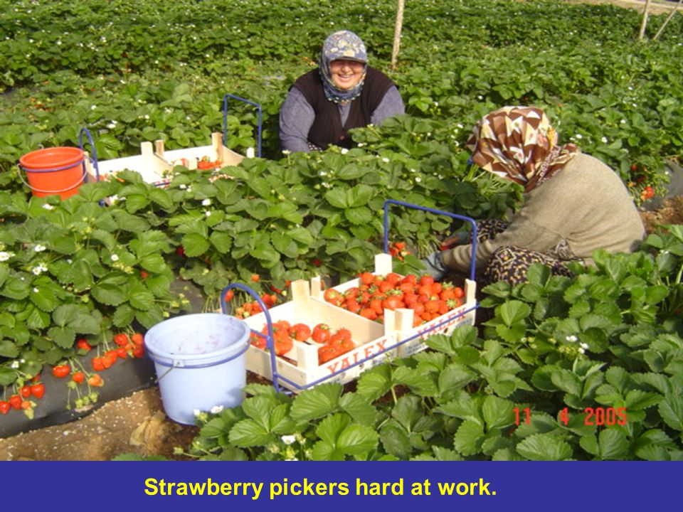 Strawberry pickers hard at work.