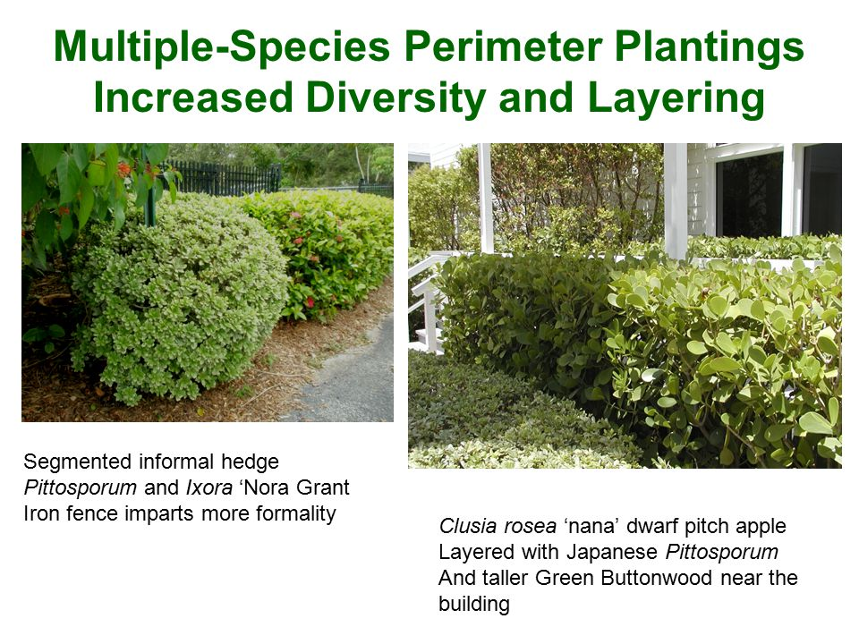 Multiple-Species Perimeter Plantings Increased Diversity and Layering Segmented informal hedge Pittosporum and Ixora 'Nora Grant Iron fence imparts mo
