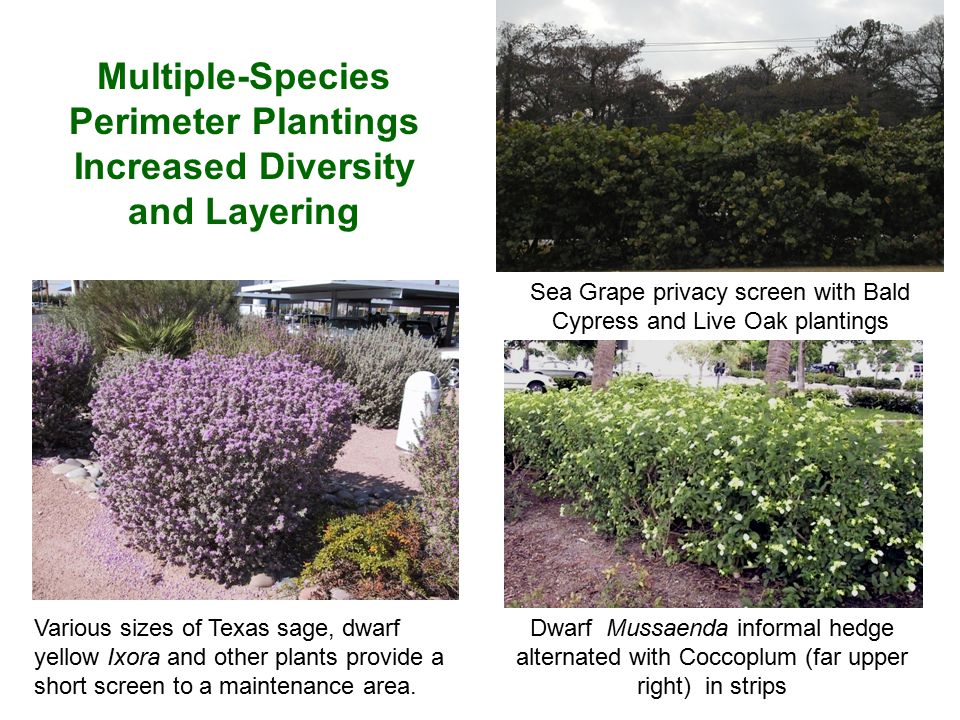 Multiple-Species Perimeter Plantings Increased Diversity and Layering Various sizes of Texas sage, dwarf yellow Ixora and other plants provide a short