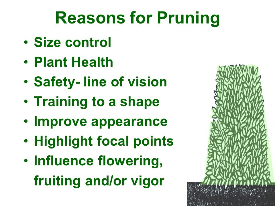 Reasons for Pruning Size control Plant Health Safety- line of vision Training to a shape Improve appearance Highlight focal points Influence flowering
