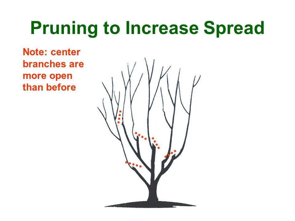 Note: center branches are more open than before Pruning to Increase Spread