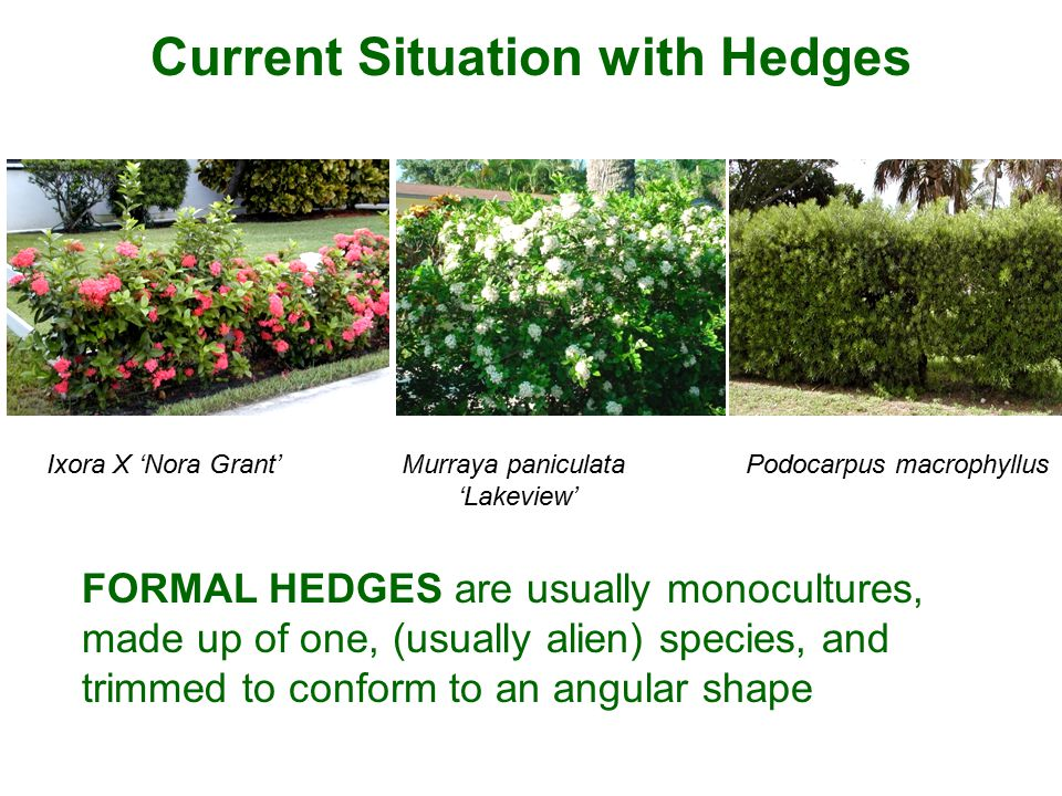 FORMAL HEDGES are usually monocultures, made up of one, (usually alien) species, and trimmed to conform to an angular shape Current Situation with Hed