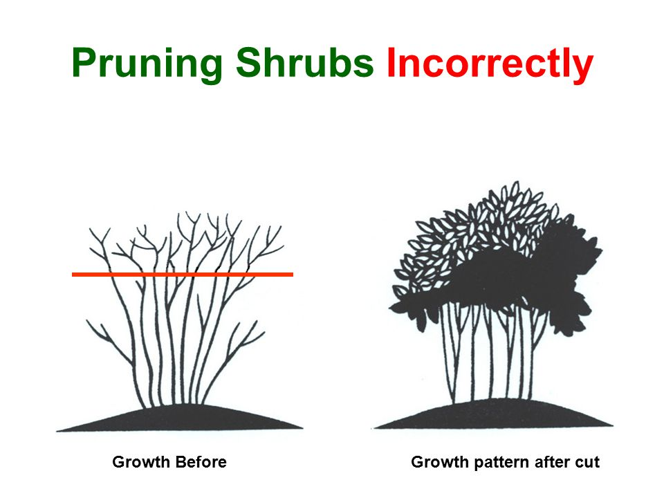 Pruning Shrubs Incorrectly Growth pattern after cutGrowth Before