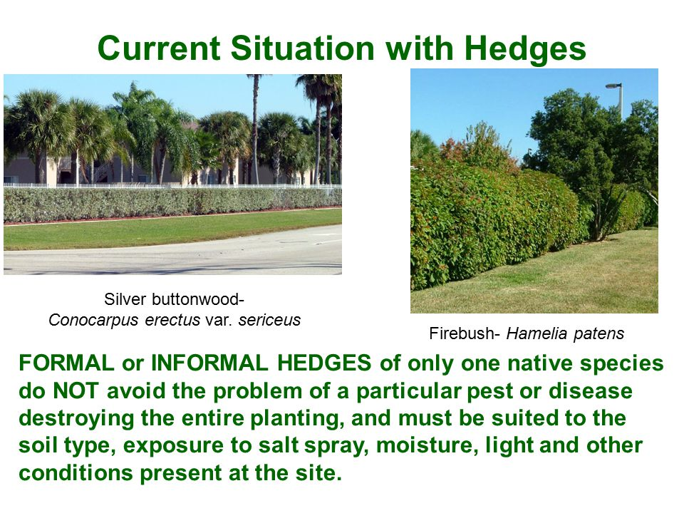 Current Situation with Hedges FORMAL or INFORMAL HEDGES of only one native species do NOT avoid the problem of a particular pest or disease destroying