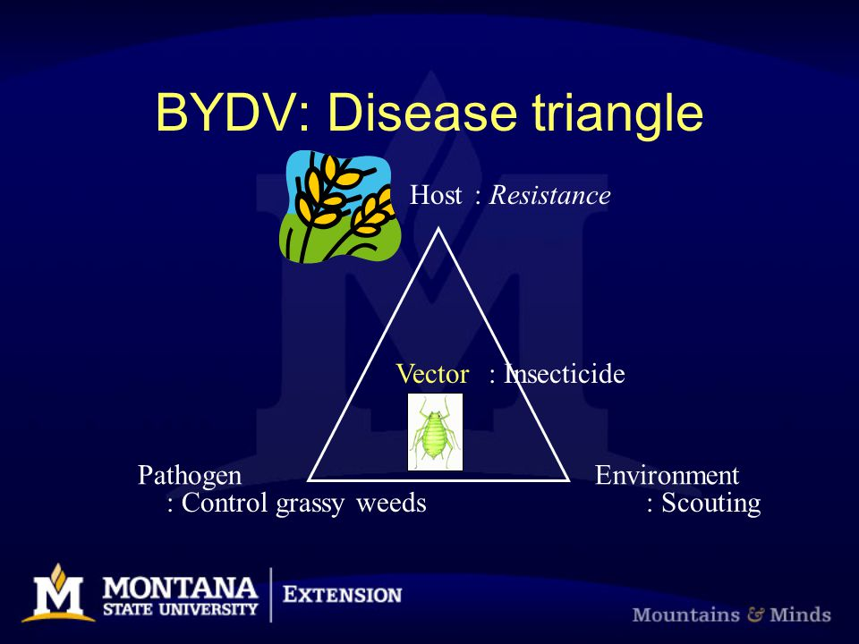 Host PathogenEnvironment Vector BYDV: Disease triangle : Resistance : Control grassy weeds: Scouting : Insecticide