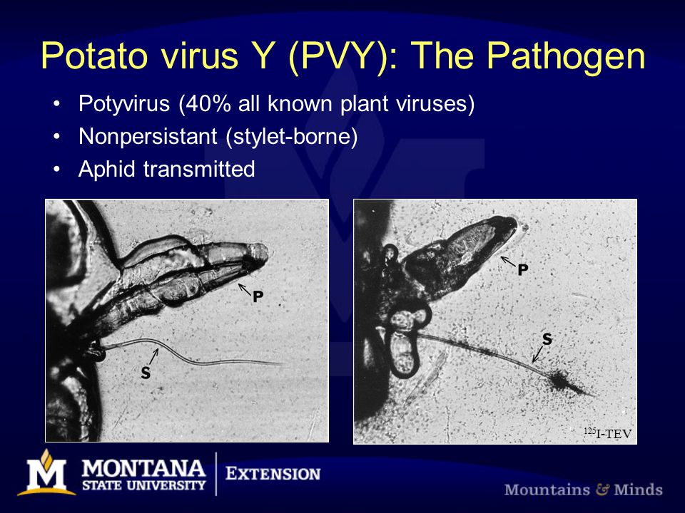 Potato virus Y (PVY): The Pathogen Potyvirus (40% all known plant viruses) Nonpersistant (stylet-borne) Aphid transmitted 125 I-TEV