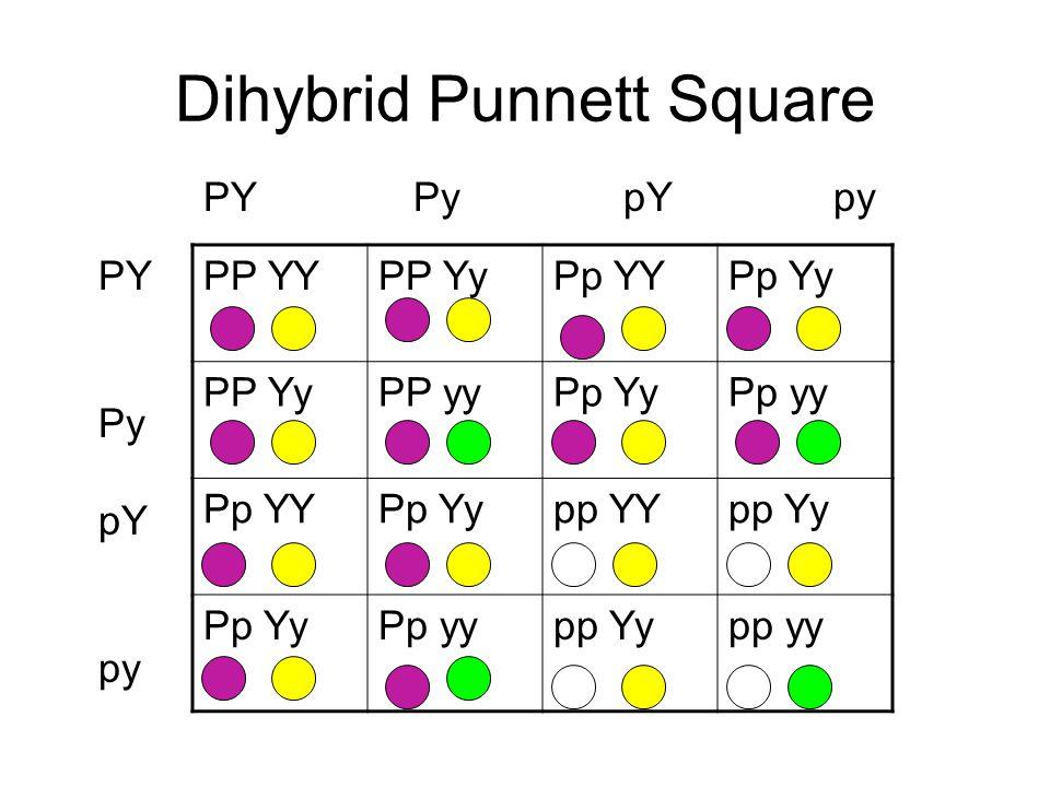 Dihybrid Punnett Square PP YYPP YyPp YYPp Yy PP YyPP yyPp YyPp yy Pp YYPp Yypp YYpp Yy Pp YyPp yypp Yypp yy PYPypYpy