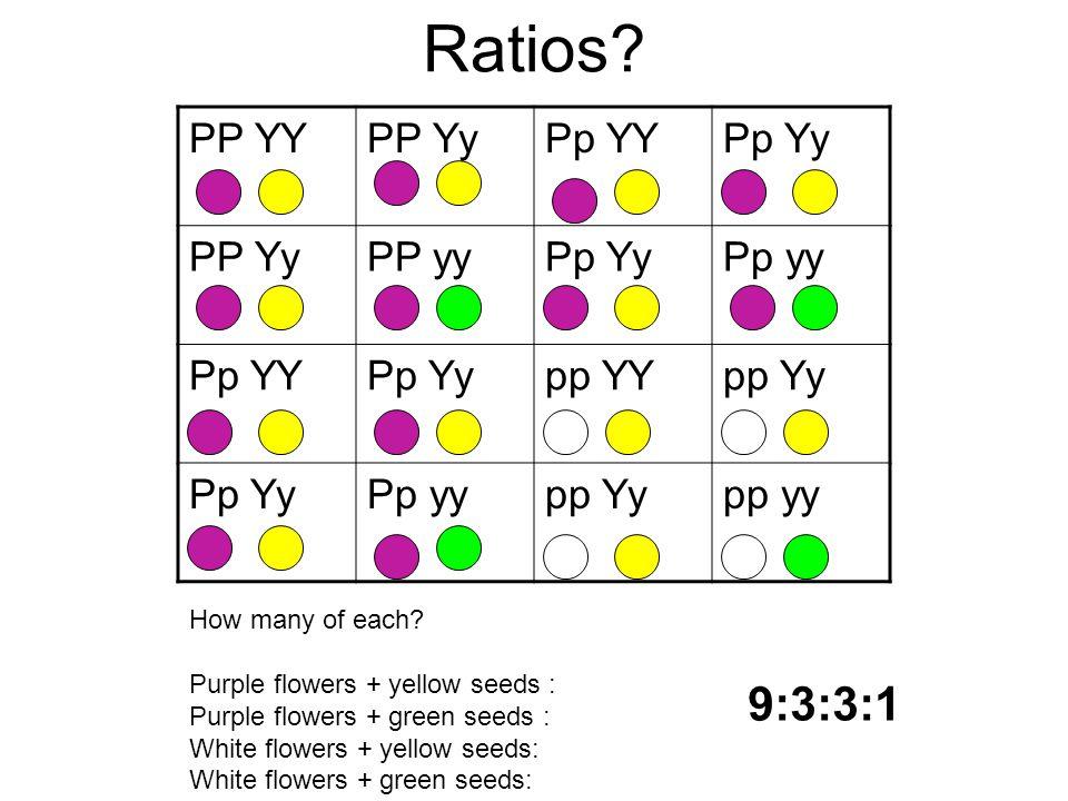 Ratios? PP YYPP YyPp YYPp Yy PP YyPP yyPp YyPp yy Pp YYPp Yypp YYpp Yy Pp YyPp yypp Yypp yy How many of each? Purple flowers + yellow seeds : Purple f