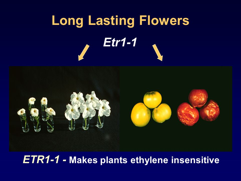 Long Lasting Flowers Etr1-1 ETR1-1 - Makes plants ethylene insensitive