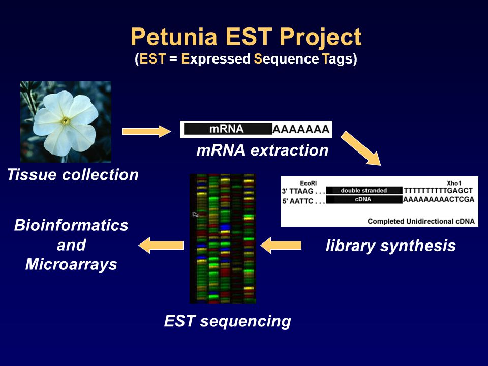 Tissue collection mRNA extraction library synthesis EST sequencing Bioinformatics and Microarrays Petunia EST Project (EST = Expressed Sequence Tags)