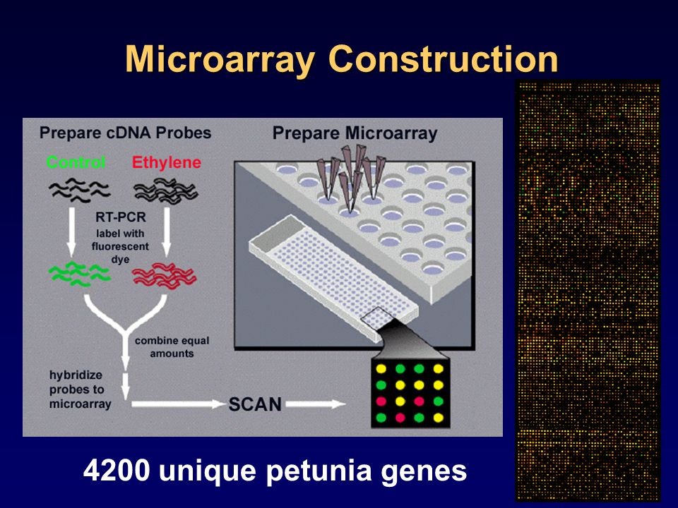 Microarray Construction 4200 unique petunia genes