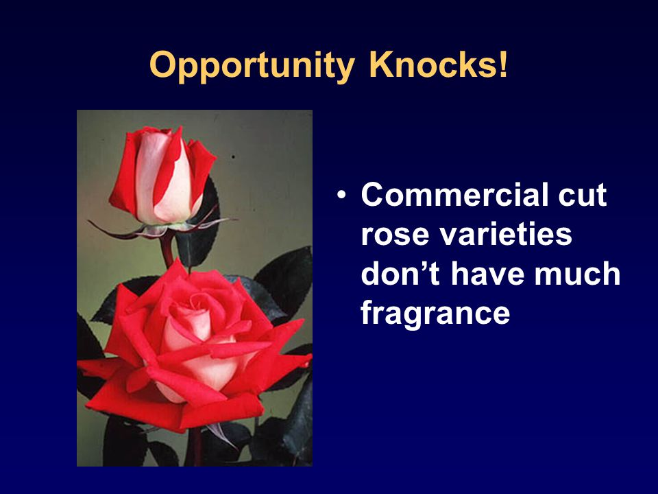 Opportunity Knocks! Commercial cut rose varieties don't have much fragrance