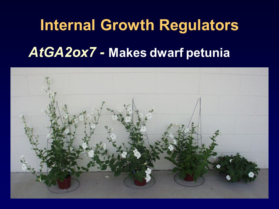 Internal Growth Regulators AtGA2ox7 - Makes dwarf petunia