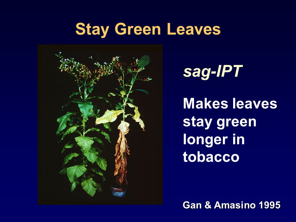 Stay Green Leaves sag-IPT Makes leaves stay green longer in tobacco Gan & Amasino 1995