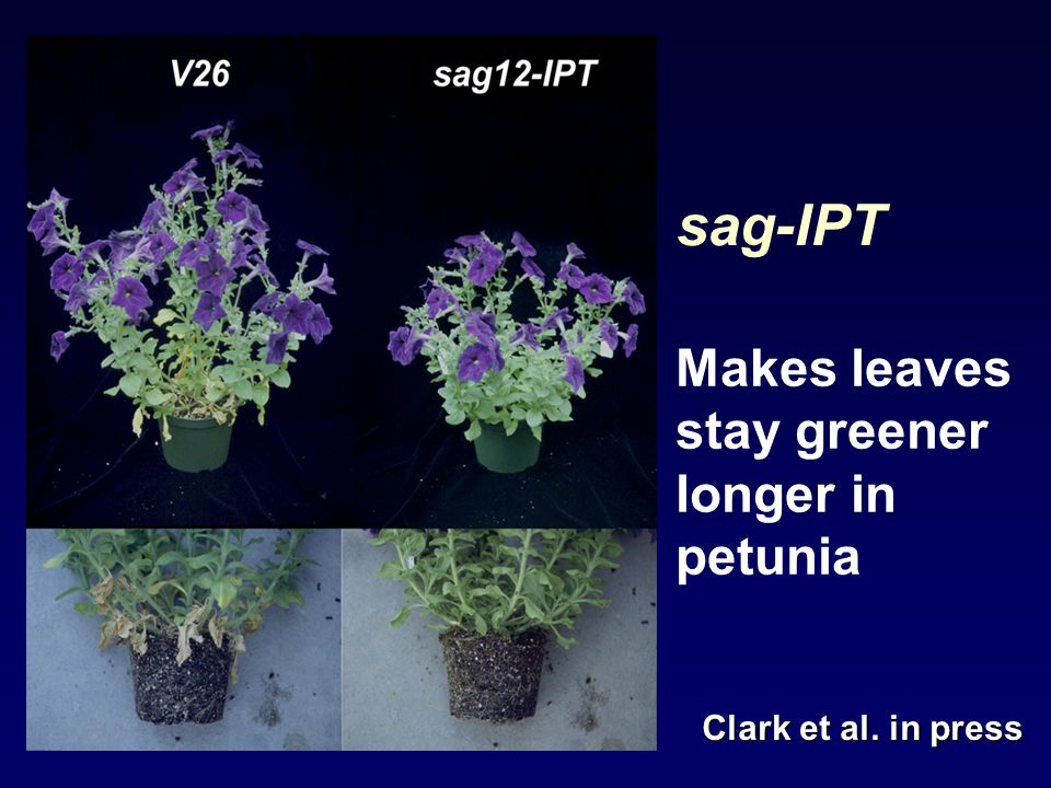 sag-IPT Makes leaves stay greener longer in petunia Clark et al. in press