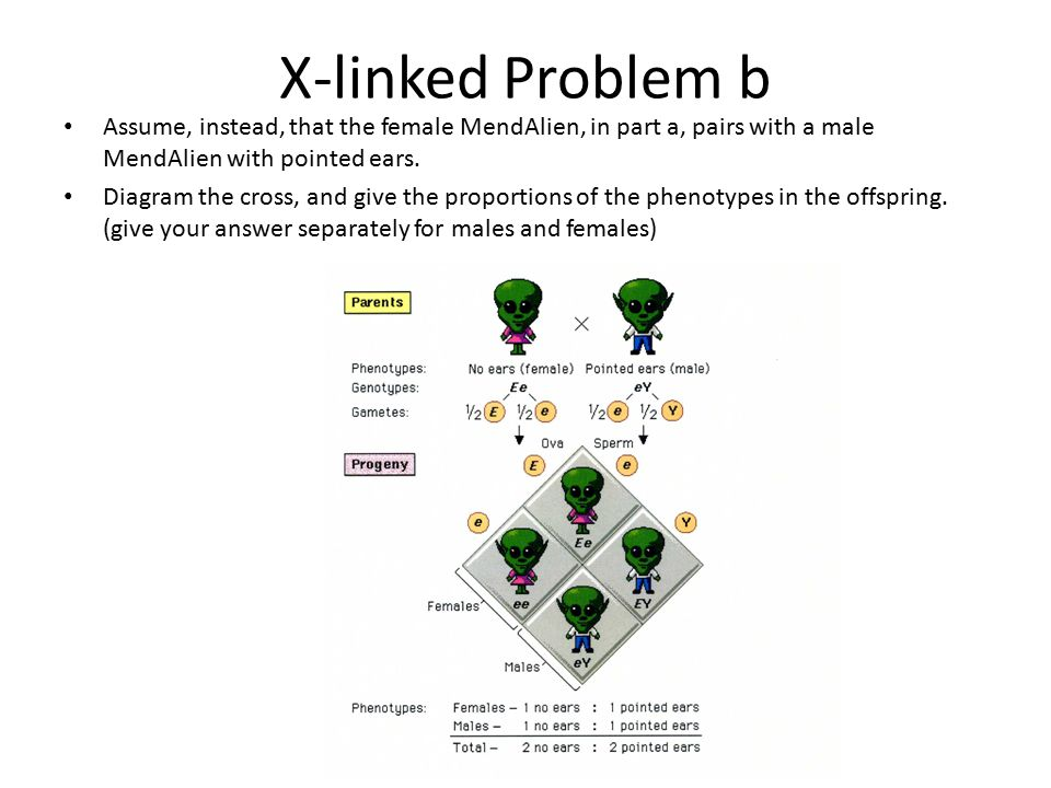 X-linked Problem b Assume, instead, that the female MendAlien, in part a, pairs with a male MendAlien with pointed ears. Diagram the cross, and give t