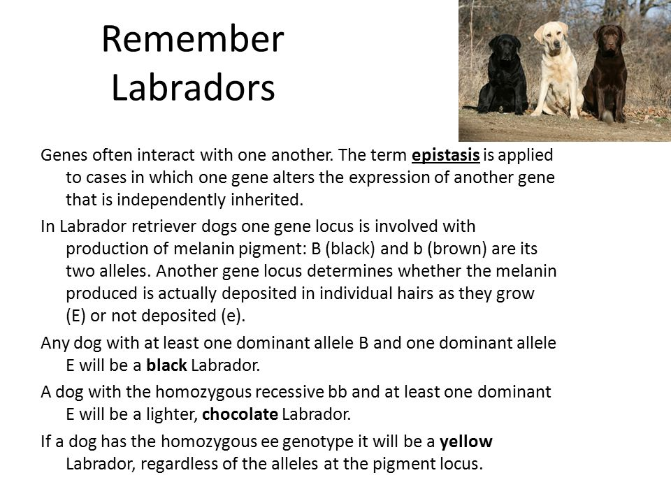 Remember Labradors Genes often interact with one another. The term epistasis is applied to cases in which one gene alters the expression of another ge