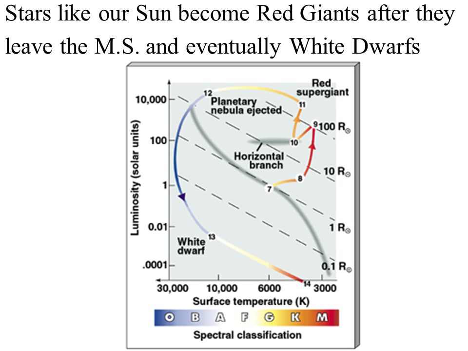 Stars like our Sun become Red Giants after they leave the M.S. and eventually White Dwarfs