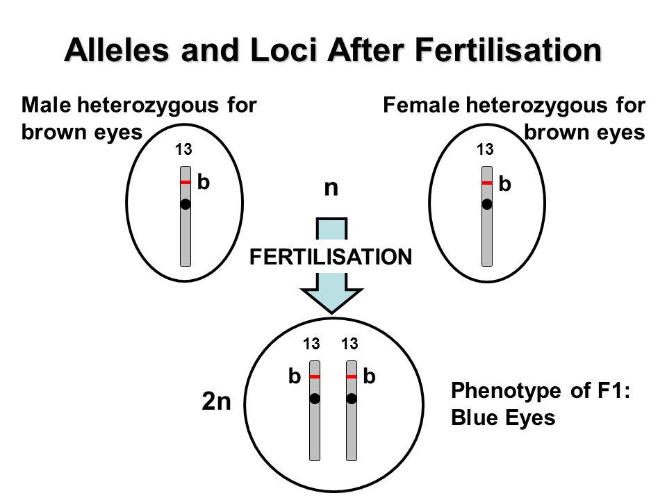 Alleles and Loci After Fertilisation Male heterozygous for brown eyes Female heterozygous for brown eyes b 13 n b bb 2n Phenotype of F1: Blue Eyes FERTILISATION