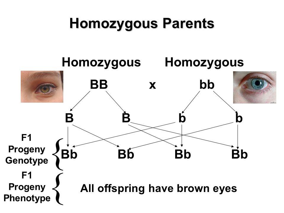 Homozygous Parents BB Homozygous bb Homozygous x BBbbBBbb BbBbBbBb All offspring have brown eyes { { F1 Progeny Genotype F1 Progeny Phenotype