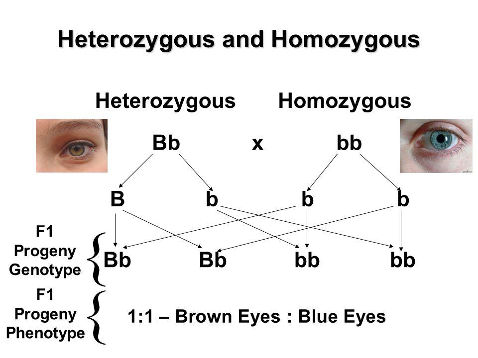Heterozygous and Homozygous Bb Heterozygous bb Homozygous x BbbbBbbb BbBbbbbb 1:1 – Brown Eyes : Blue Eyes { F1 Progeny Genotype F1 Progeny Phenotype {