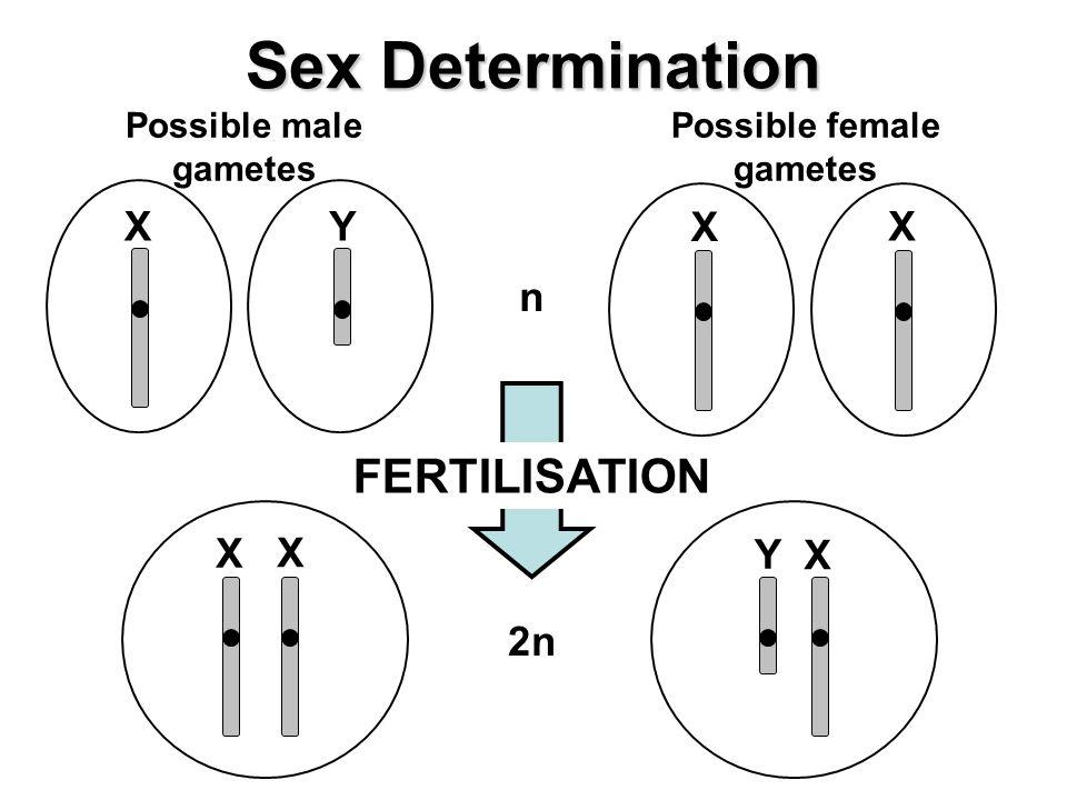 Possible male gametes Possible female gametes Sex Determination n YX X X 2n X Y X X FERTILISATION