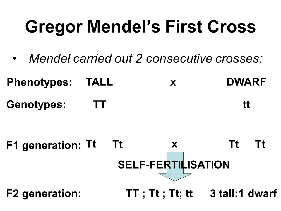 Gregor Mendel's First Cross Mendel carried out 2 consecutive crosses: TALLxDWARF TTtt Phenotypes: Genotypes: F1 generation: Tt SELF-FERTILISATION x TT ; Tt ; Tt; tt3 tall:1 dwarfF2 generation: