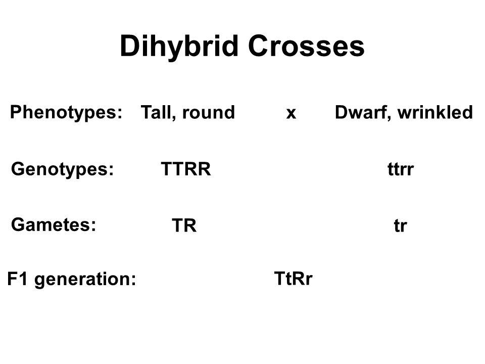 Dihybrid Crosses Tall, round xDwarf, wrinkled TTRRttrr Phenotypes: Genotypes: F1 generation: TtRr Gametes: TRtr