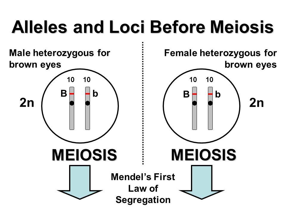 Alleles and Loci Before Meiosis MEIOSIS Male heterozygous for brown eyes Female heterozygous for brown eyes MEIOSIS Bb 10 Bb 2n Mendel's First Law of