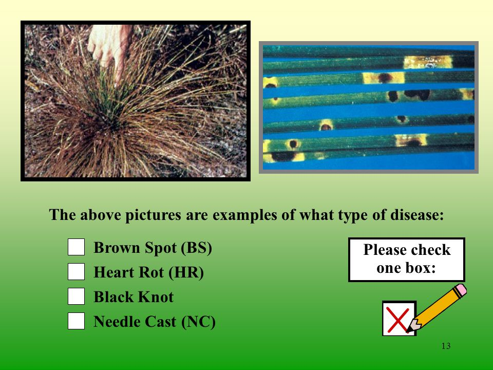 12 Oak Wilt (OW) Chestnut Blight (CB) Black Knot Needle Cast (NC) The above pictures are examples of what type of disease: Please check one box: