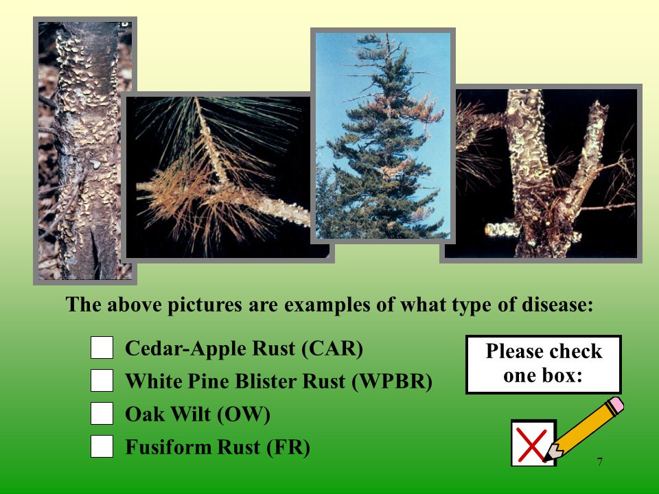 6 Chestnut Blight (CB) White Pine Blister Rust (WPBR) Oak Wilt (OW) Cedar-Apple Rust (CAR) The above pictures are examples of what type of disease: Please check one box: